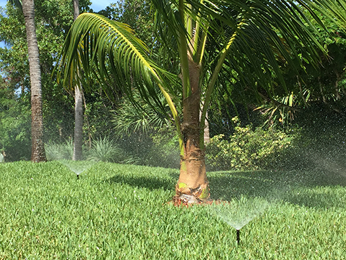 Palm tree being watered by sprinkler system